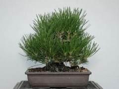 如何使小品黑松盆景的芽松开?