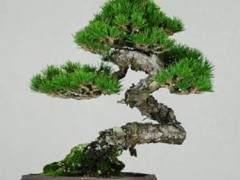 一些讀者本周為杰夫的日本黑松盆景提供了建議