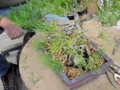 圖解 日本黑松樹盆景怎樣修剪的技巧