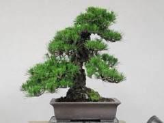 2011年對日本黑松盆景的修剪