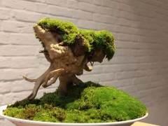 苔藓盆景该怎么浇水?