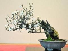 日本新福寺里的盆景博物馆