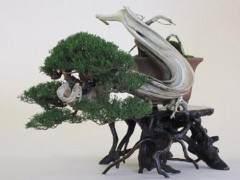 日本名古屋黑松盆景展