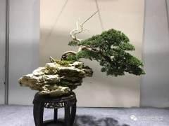 盆景最难做的就是树干造型