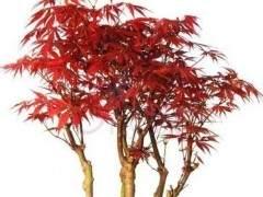 日本紅楓盆景的種植方法有哪些?