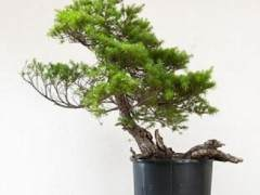 山铁杉盆景的根部修剪