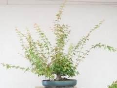 日本枫树盆景的修剪工作