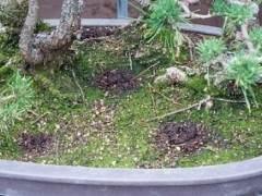 夏季盆景土壤相當干燥 該如何澆水?