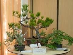 湾岛盆景在其年度展览的第一天举行拍卖
