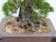 如何对黑色的松树盆景进行修剪?