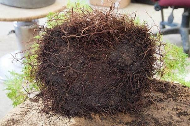 星期五,矮小的萨瓦拉柏树准备好转产了
