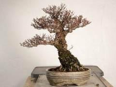 如何给榆树盆景用盆?