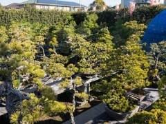 欣赏岩切花园的白色松树亚博app苹果下载