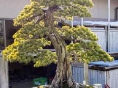日本朋友今井花园里的松树亚博app苹果下载