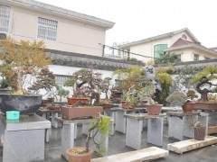 姜拥军的庭院及室内有几十种盆景