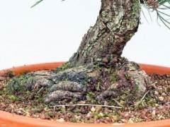 对松树盆景枝干的修剪