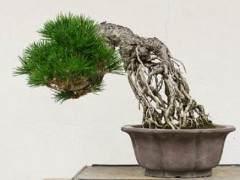 日本黑松展出于2016年海灣島盆景展