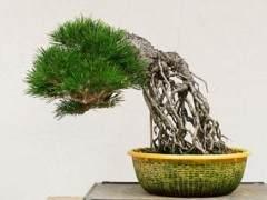 如何给暴露的根黑松盆景选择最好的盆子?