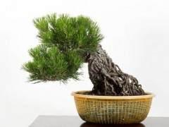 如何在夏季修剪黑松盆景?