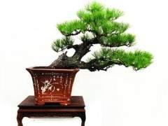 苏式盆景造型的特点是什么吗?