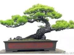 3个小步骤  就能给松树盆景做修剪造型