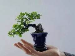 微型盆景施肥发芽的方法 图片