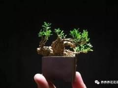 有哪些植物可以做微型盆景?