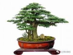 盆景树木应当如何裁剪?