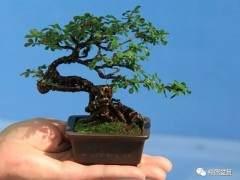 树桩盆景的摘叶技巧和讲究
