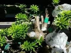 图片 盆景植物的发芽嫁接方法