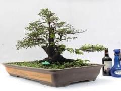 上海植物园收到了两份来自台湾盆景