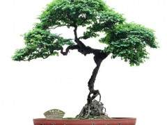 盆景是对树木自然生长的扭曲 是对生命的摧残