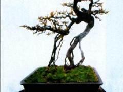 张华江先生的《雀梅》盆景