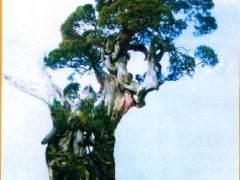 日本真柏盆景素材只听说原生于山野的