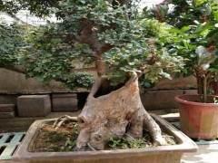 下山桩的移栽与养护