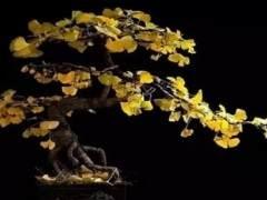 怎样弯曲银杏树制作成盆景 图片
