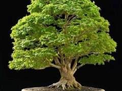 蛇皮枫树盆景的修剪和盘扎