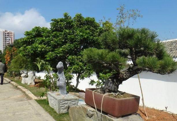 合欢树盆景的v盆景与翻盆香根鸢尾和蝴蝶兰图片