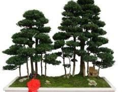 河樺樹盆景怎么澆水與修剪的方法 圖片