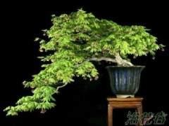 枫香盆景的浇水与施肥