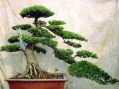 请问树木盆景定枝后怎样进行主骨干枝的修剪?