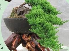 波托马克盆景协会甚至以摇滚植物为主题进行秋季研讨会