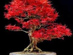 波托马克盆景协会春季秀在美国国家树木园