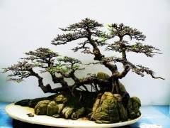 中国扫帚风格的榆树盆景