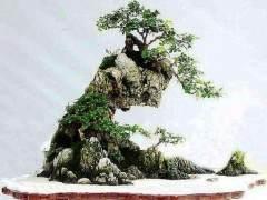 盆景分类:水旱盆景与附石盆景