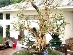 花木盆景的栽培技术