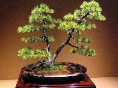 在日本制作黑松盆景是最經典的