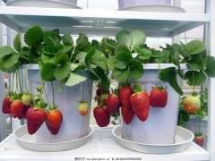 盆景草莓成新宠 业内人士:栽种时要注意室内通风换气