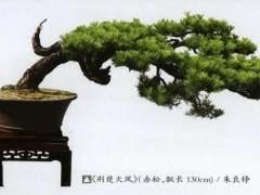 荆楚松树盆景造型风格初探