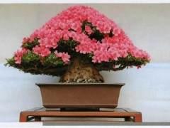 日本皋月盆景协会为纪念创立70周年